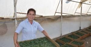 Aksu'da 40 bin dekar sera alanında kışlık domates ve biber ekimi başladı