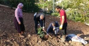 Şifa kaynağı olacak keçiboynuzu fidanları toprakla buluştu