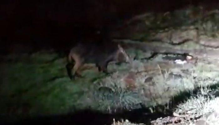 Aç kalan yaban domuzu Arnavutköy'ün merkezine indi