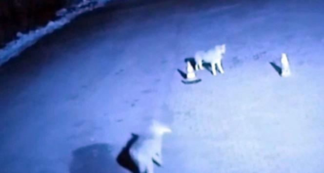 Ağrı'da kurtlar şehre indi