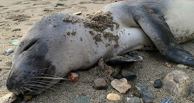 Alanya'da sahile ölü yavru Akdeniz foku vurdu