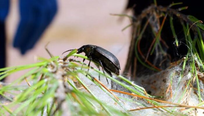 Çam kese böceklerine karşı 'terminatör' böcekler! Doğaya salındılar