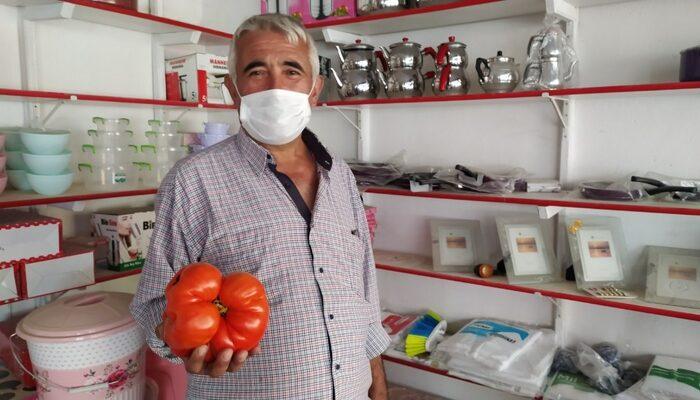 Domatesi gören inanamıyor! Kütahya'daki domates 1,5 kilo ağırlında