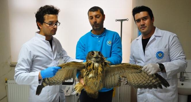Tedavisi tamamlanan Avrasya Kartal Baykuş'u doğaya salındı