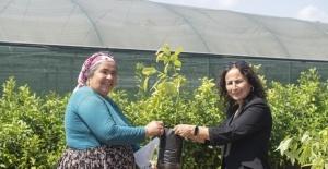 Mersin Büyükşehir Belediyesi çiftçilere 4 bin 40 adet avokado fidanı dağıttı