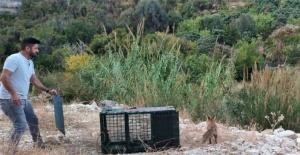 30 tavuğu telef eden tilkiyi yakaladı, karnını doyurup tekrar doğaya saldı