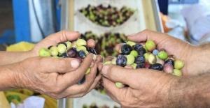 Zeytinyağının zahmetli ve tatlı biten yolculuğu