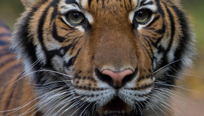 ABD'de hayvanat bahçesindeki kaplan Nadia'da koronavirüs çıktı