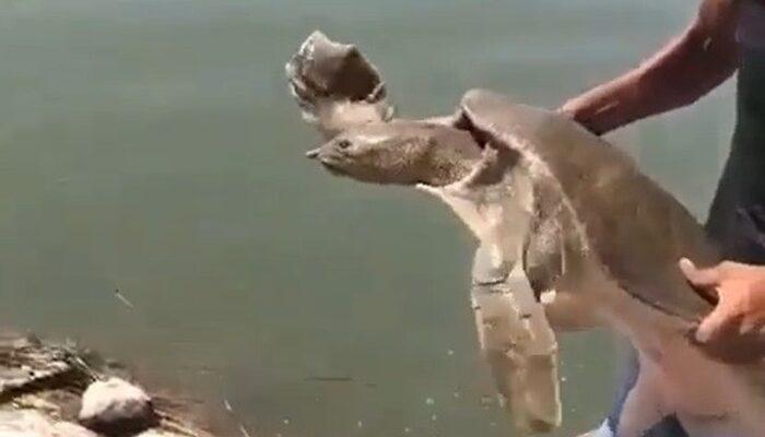 Hatay'da çuvala dolanmış Nil kaplumbağası bulundu