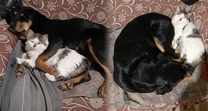 Kedi ile köpeğin dostluğu görenleri şaşırtıyor