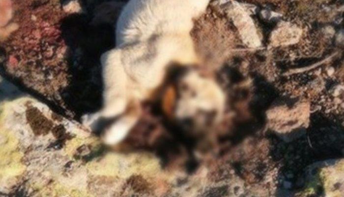Niğde'de yürek yakan olay! Yavru köpekler tüfekle öldürüldü