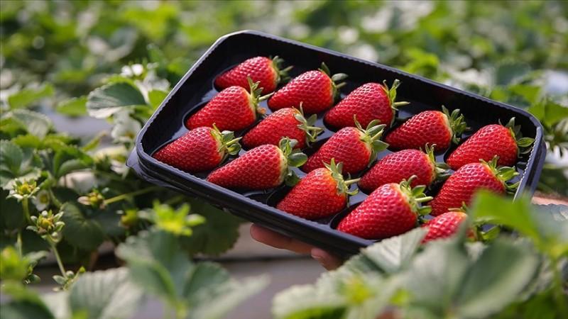 Topraksız tarımla taze çilek ihracatı gerçekleştiriliyor