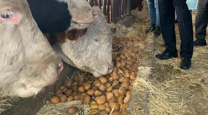 Üretici satamadığı patatesi hayvan yemi olarak kullanmaya başladı